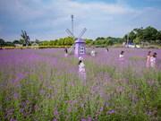 组图:河内市薰衣草紫色庄园颇受年轻人的欢迎