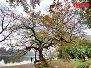 """组图:红花玉蕊树进入换叶季节  河内各条街道""""亮""""了"""