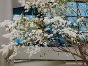 组图:黄檀花竞相盛开白如雪  河内街景浪漫美如画