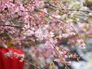 2019年河内日本樱花节开幕(组图)