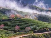 春色来得早  樱花林在沙巴茶山里盛开(组图)