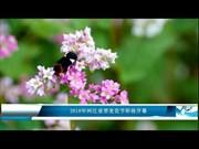 2018年河江省荞麦花节即将开幕