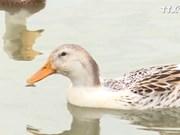 茶荣省海鸭养殖模式—— 应对气候变化新模式