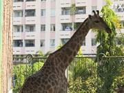 长颈鹿宝宝在西贡草禽园诞生