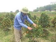 天气反常造成金橘种植户经济损失严重