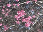 喜马拉雅樱花竞相绽放  染红大叻市大街小巷