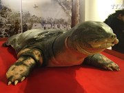 还剑湖巨龟标本在河内市玉山祠展出