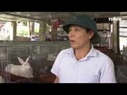 养兔子取疫苗——莱州省农民新生产模式