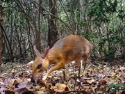 已消失30年的银背鼷鹿在越南被重新发现