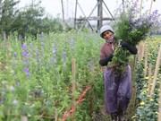 组图:西就村花农忙忙碌碌 为年底的鲜花供应做准备