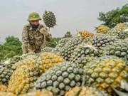 组图:宁平省菠萝迎丰收 同交农场农民笑开颜