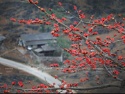 组图:鲜红的木棉花在河江省岩石高原怒放