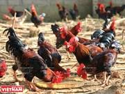 河内市巴维走山鸡—面向越南家禽商标