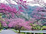 第一届大叻樱花节被取消  旅行社团款及酒店押金全额退还