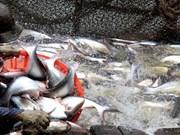 越南查鱼价格上涨