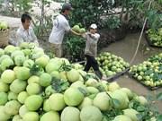 中国市场对越南九龙江三角洲地区绿皮柚需求猛增