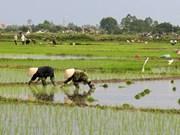 越南京族人的水稻种植业