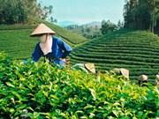 今年前5月越南茶叶出口大幅增长