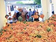 越南对多个市场出口荔枝