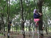 泰国、印尼和马来西亚计划今年下半年消减橡胶出口