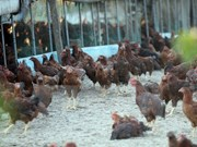 菲律宾发现首个禽流感疫区