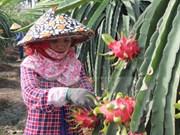 越南火龙果生产和出口中国概况