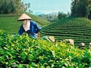 2017年前8月越南茶叶出口总额增长11.8%
