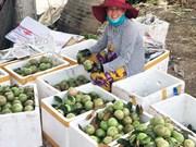 前江省寻找措施推动金星果对美国出口