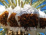 阿尔及利亚有意将其椰枣进军越南