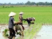 越南努力在水稻生产过程中减少温室气体排放