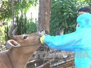 越南国产口蹄疫疫苗将于2018年第二季度上市