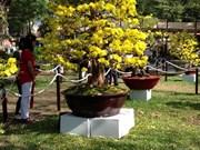 春节即将来临  富安省梅花市场升温