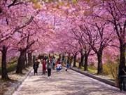 河内市樱花节将于3月下旬举行