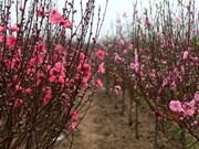 日新桃花——河内人春节文化象征
