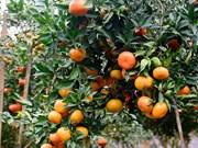 橙子树——安沛省文振县居民致富脱贫之树