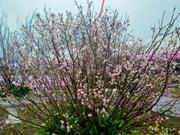 2018年安子黄梅花—樱桃花节提前两天举行