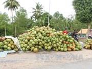 茶荣省协助企业升级椰子价值链