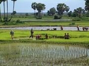2017年柬埔寨水稻产量增长5.7%