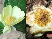 河静省武光国家公园在国际杂志上公布两种珍稀植物