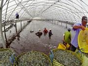 金瓯省努力扩大虾类出口市场