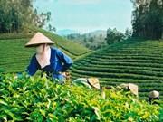 越南成为世界五大茶叶出口国