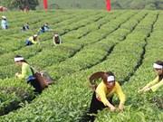 越南茶叶产品对美出口增长势头良好