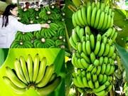 林同省首批拉巴香蕉成功打入日本市场