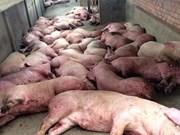 政府举行会议   就寻找措施防止非洲猪瘟疫情入境越南