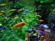 2018年全年胡志明市观赏鱼出口有望创汇2300万美元