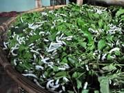 清化省绍化县的种桑养蚕业