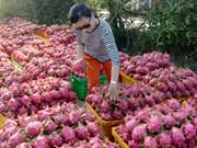 输往中国的火龙果日均出口量为1.3万吨