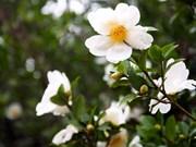 广宁省白色茶油花节将于12月中旬举行