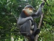 广南省将极其稀有的灰腿白臀叶猴保护与促进旅游可持续发展相结合