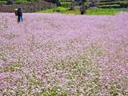 越南河江省漫山遍野的荞麦花
